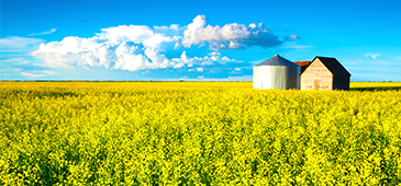 Graineries in canola field